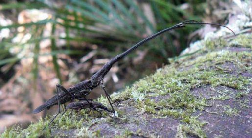 Giraffe weevil (Lasiorhynchus barbicornis) pair at Matuku Photo credit: Chrissie Painting